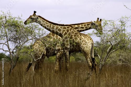 Wall mural African Giraffes