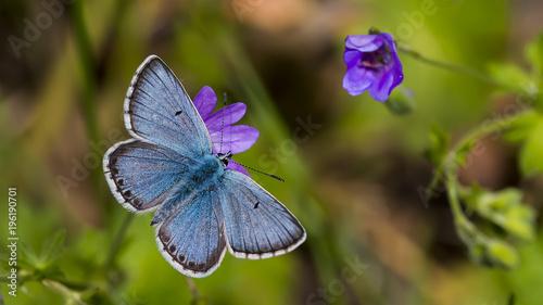 Fotobehang Vlinder Çokgözlü Balkan Mavisi - Polyommatus anteros