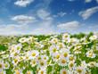 Quadro white daisies on blue sky