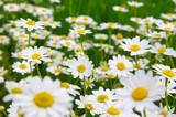White daisy on  field