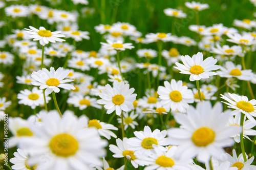 White daisy on field