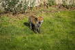 Fox taking sunbath in garden