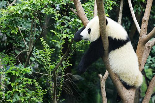 Fototapeta young panda in a tree