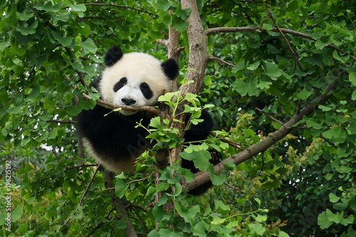 Plexiglas Panda young panda in a tree