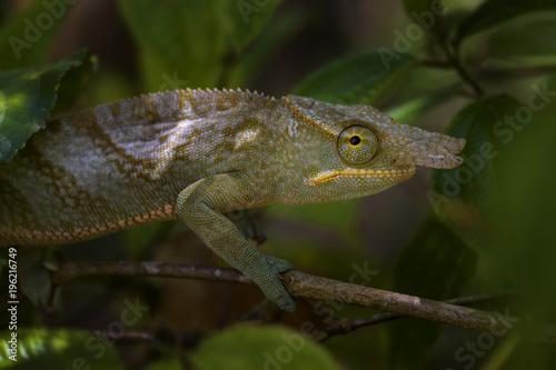 Aluminium Kameleon Chameleon - Furcifer bifidus, beautiful green chameleon endemic in Madagascar forests.