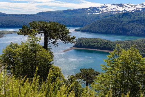 Araukaria las w Conguillio parku narodowym, Chile