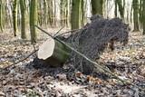 ścięte drzewo z lorzeniem