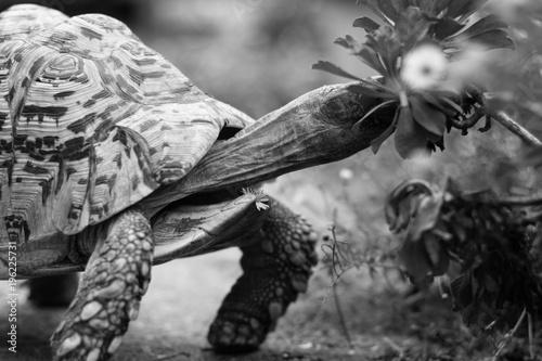 Aluminium Schildpad Tortoise eating flowers