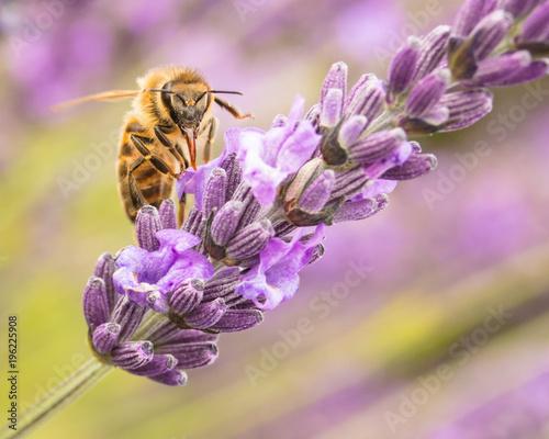 Fotobehang Lavendel Honey bee on lavender