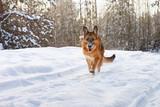 cheerful German Shepherd dog runs along the forest road - 196228582