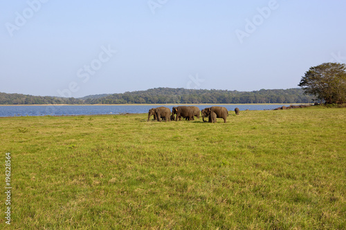 Blue sky sri lankan elephant family