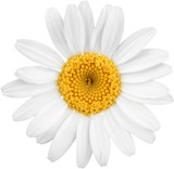 Chamomile or daisy flower - isolated