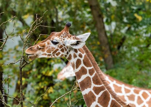 Fototapeta Giraffe - Artiodactyla