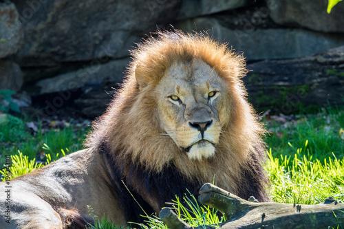 Fotobehang Lion Löwe - Panthera leo