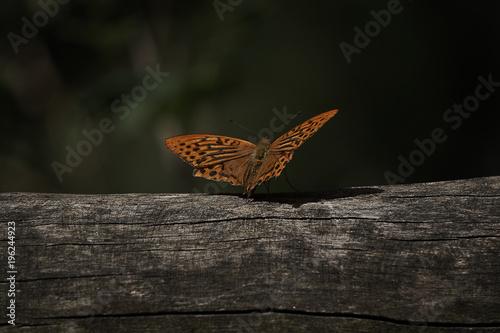 Fotobehang Vlinder Falter