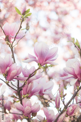 Fototapeta Close up of magnolia blossoms with blurred background and warm sunshine