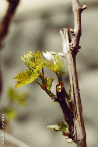 Foto op Canvas Wijngaard Rod branch with small growing leaves