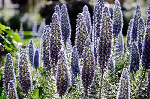 Fotobehang Lavendel flower