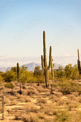 Deurstickers Arizona Arizona Saguaro Cactus in the deserts of the western United States