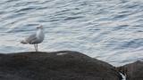 Un goéland sur un rocher s'apprête à s'envoler - 196260142