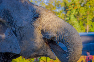 Close up of young elephant head with his trunk in the mouth, in a blurred forest background, in Elephant jungle Sanctuary, in Chiang