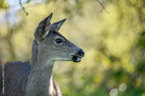 Aluminium Hert Black Tailed Deer
