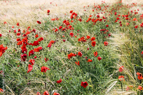 Fototapeta Poppies on Lancing Down, West Sussex, England