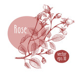 Hand drawn vintage rose. Vector blooming flower. Botanical illustration. Can be use for wedding invitations and greeting cards, page decoration, packaging.