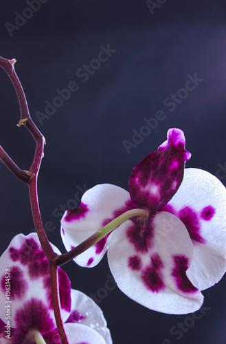 Fototapeta Orchidee vor schwarzen Hintergrund