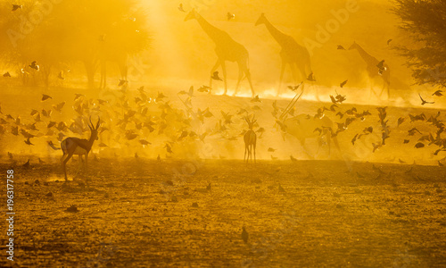 Fototapeta A group of giraffe and antelope silhouetted at sunrise at the waterhole