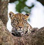 Fototapeta Portrait of a leopard on a tree. Close-up. Classical picture. National Park. Kenya. Tanzania. Maasai Mara. Serengeti. An excellent illustration.