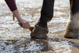 Horse close-up, hoof care with brush and water..