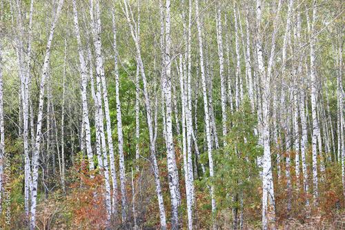 Plexiglas Berkenbos Beautiful birches in forest in early autumn