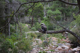 Kookaburra sitting on a tree branch above a river bed