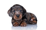 Little cute puppy dachshund on a white background