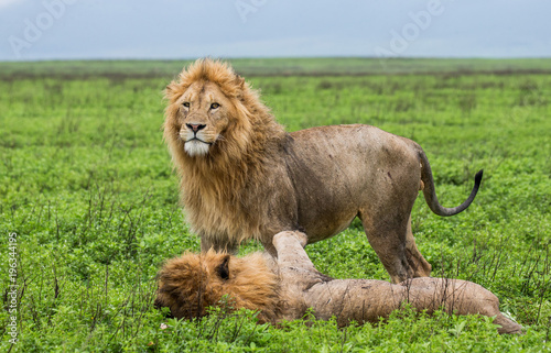 Plexiglas Lion Two big lions in the savannah. Africa. Tanzania. Serengeti National Park.