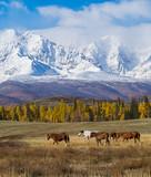 herd of horses In scenery Altai mountains, Altai Republic, Siberia, Russia.