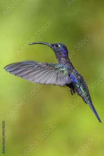 Violet Sabrewing - Campylopterus hemileucurus, piękny niebieski koliber z Kostaryki La Paz.
