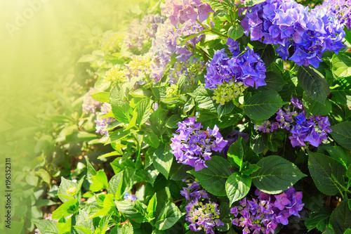 Aluminium Hydrangea Purple hydrangea flowers.