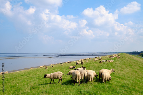Aluminium Noordzee Schafe auf dem Deich