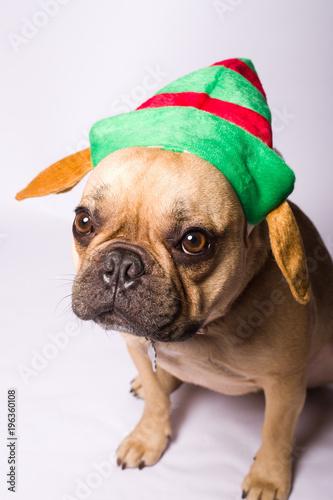 Staande foto Franse bulldog French Bulldog in Christmas Clothes