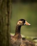 Goose at the lake - 196360596