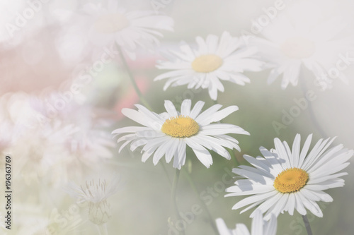 Daisies in the field, light background © luckat