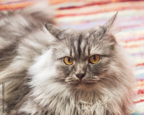Fotobehang Kat nice gray cat