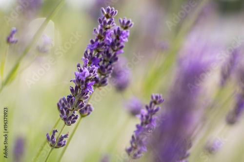 Fototapeta Growing Purple Lavander