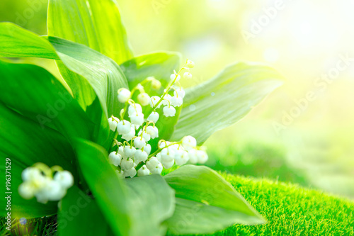 Aluminium Lelietjes van dalen Flower lily of the valley growing in forest in spring closeup, natural background