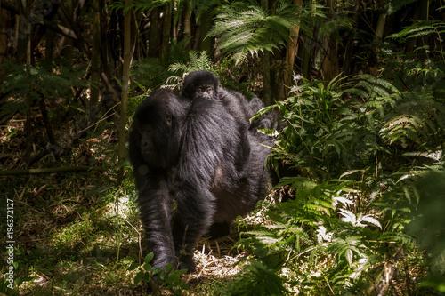 Fotobehang Bamboe Baby mountain gorilla