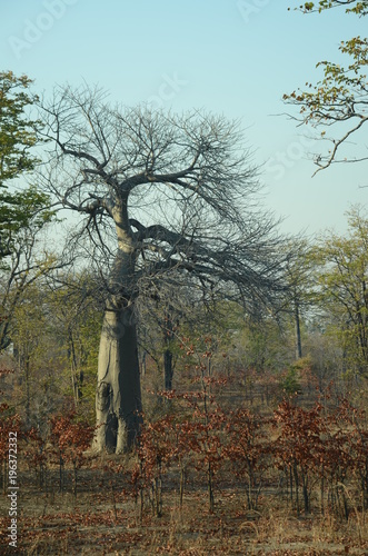 Keuken foto achterwand Baobab The African landscape. Baobab. Zimbabwe