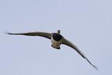 Barnacle goose (Branta leucopsis) - 196373340