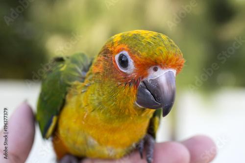 Fototapeta Parrot on the finger, Parrot Sun conure on hand. Close Up Puppy Parrot.